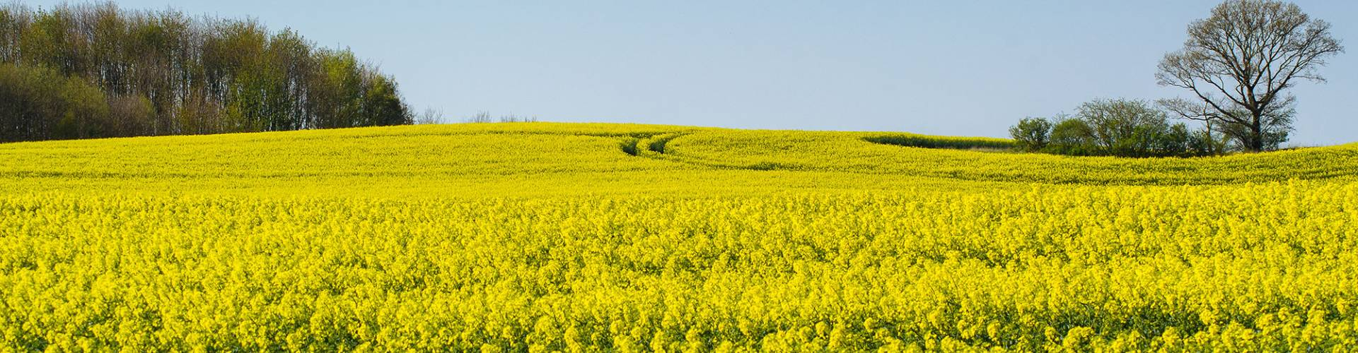 Winter Oilseed Rape