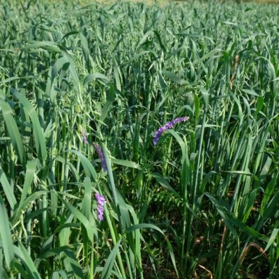 Silage Mix Oats Vetch